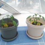 Introducing  Serr (Serrano) and Anne (Cayanne)