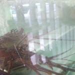 Lobster-jail